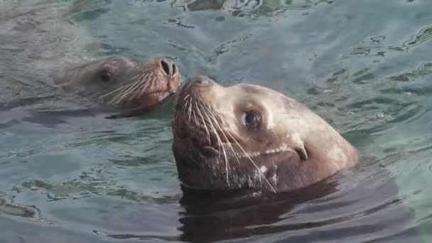 Swimming group wild animal marine mammal Steller Sea Lion in water Pacific Ocean