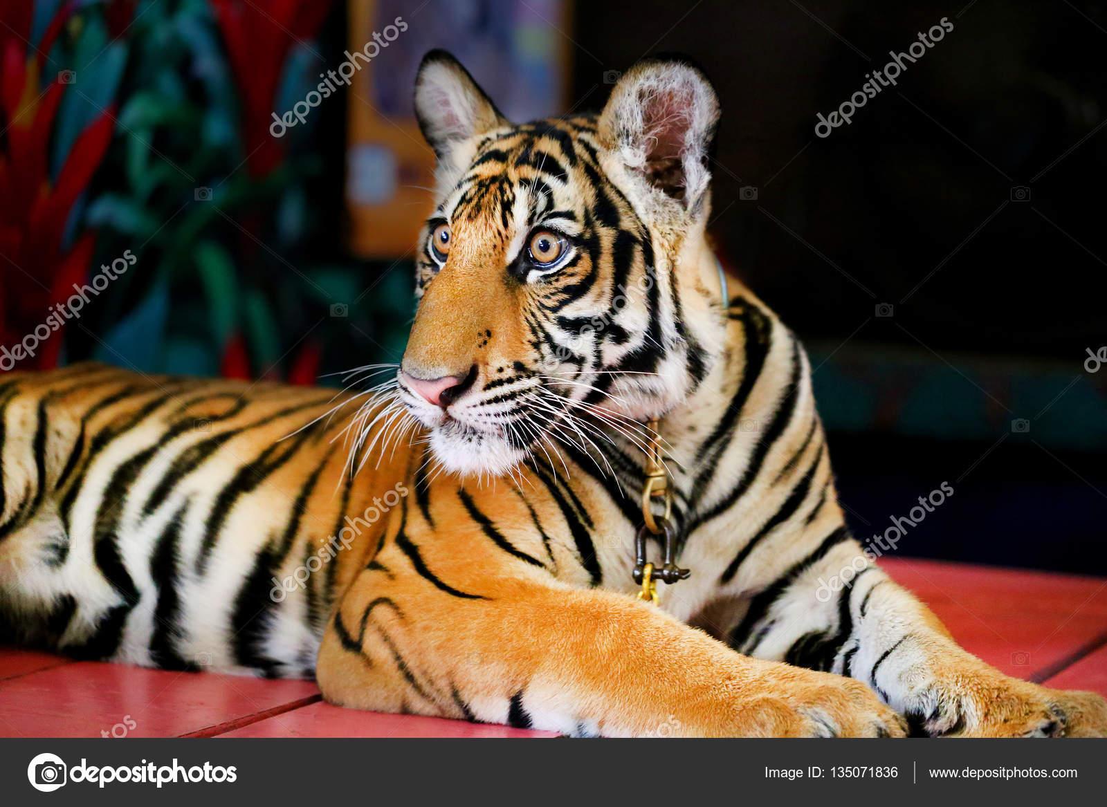 Lustige Kleine Tiger Stockfoto Tanor 135071836