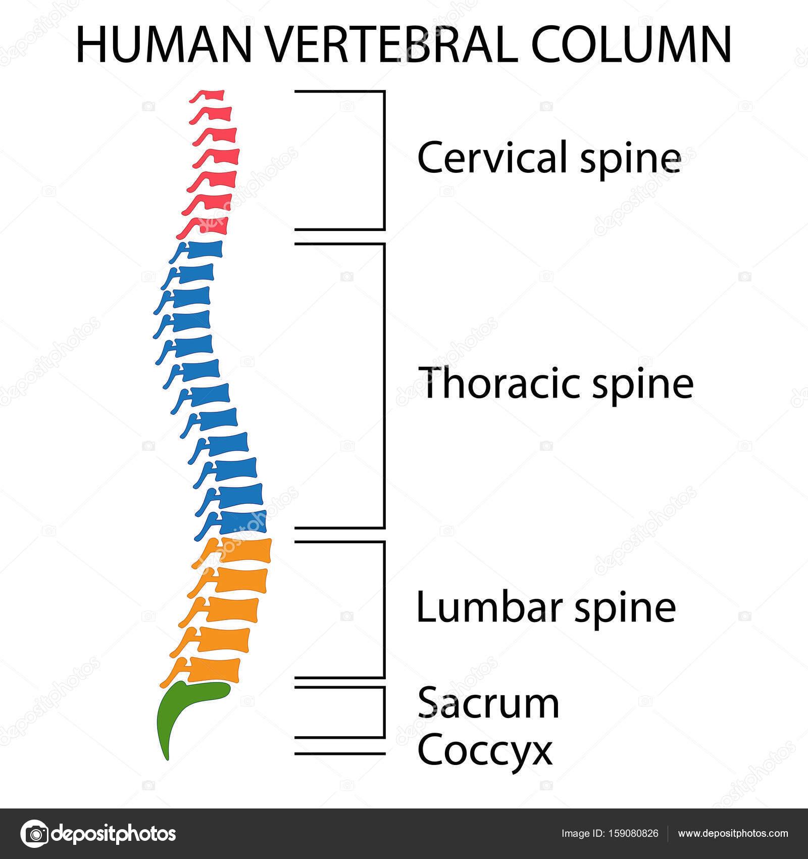 Esquema de una columna vertebral humana — Vector de stock ...