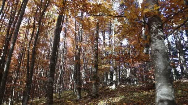 Podzimní bučiny s padající listy v teplé světlo říjen