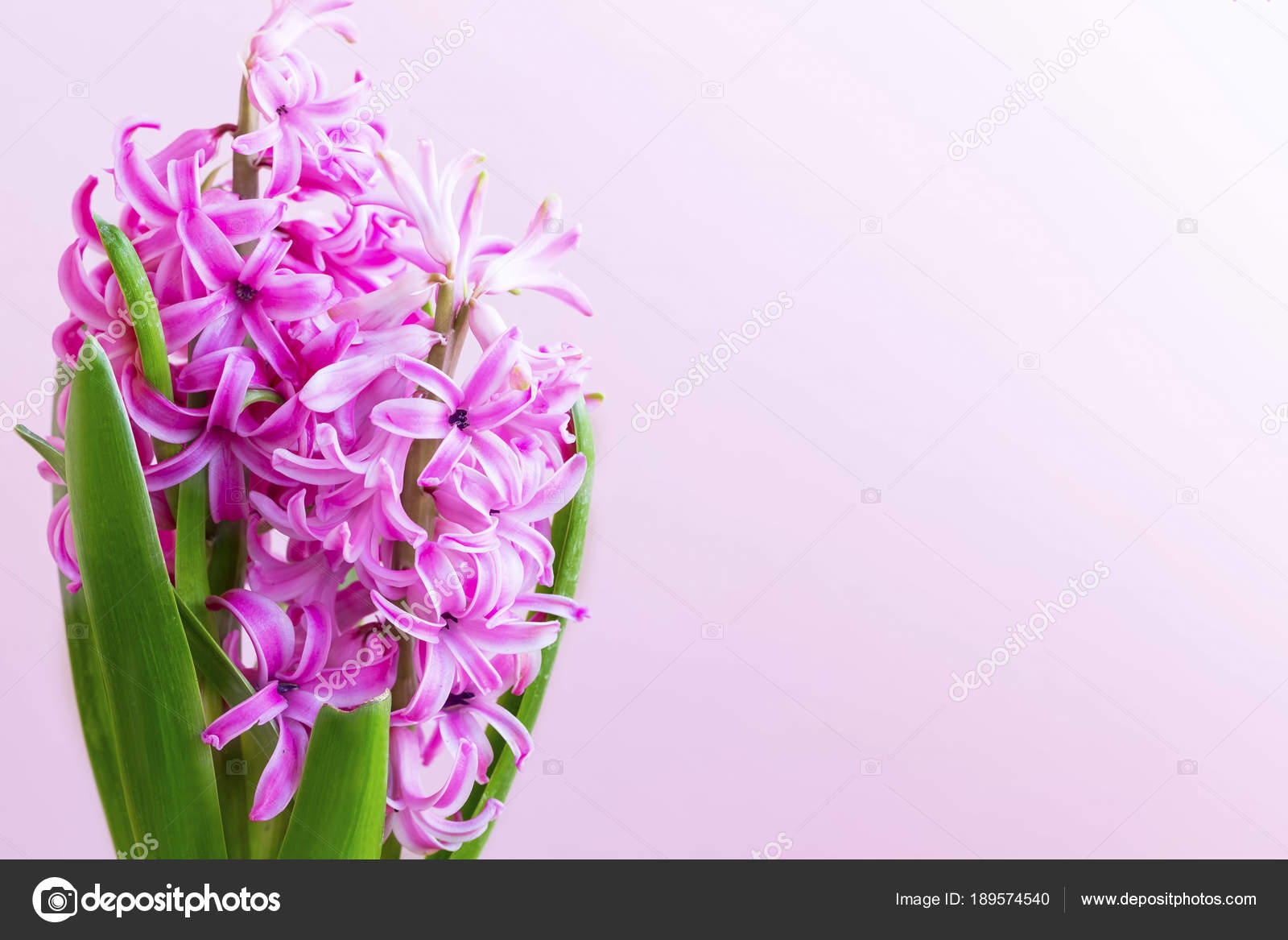 Hyacinth flower bouquet with copy space — Stock Photo © marrakeshh ...