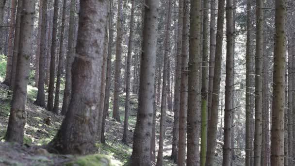 Les na slunci, krásné klidné lesní scénu jedle