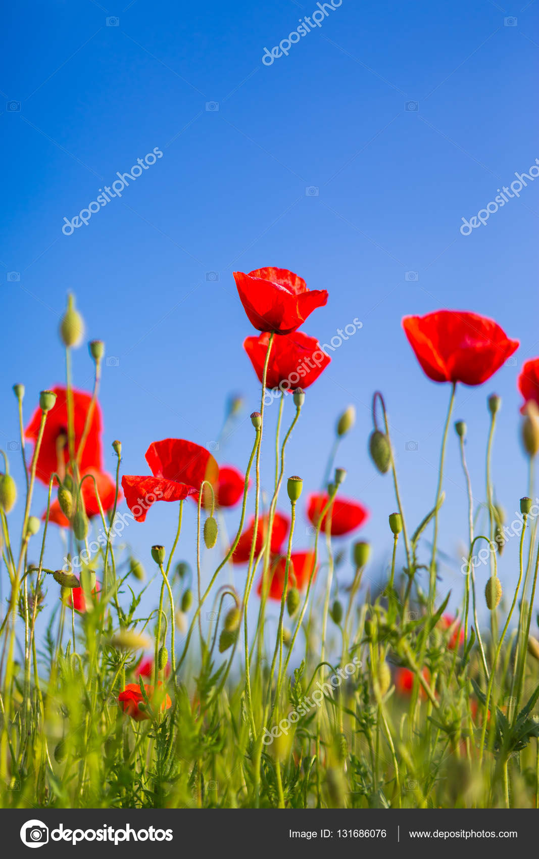 Blue sky red poppy flowers red poppies in the grass at morning blue sky red poppy flowers red poppies in the grass at morning stock photo mightylinksfo