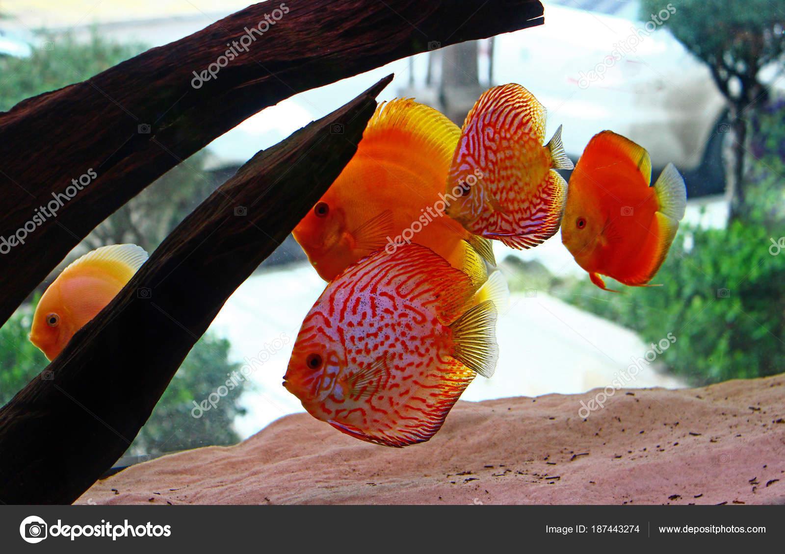 Discus Fish Aquarium — Stock Photo © Vojce #187443274