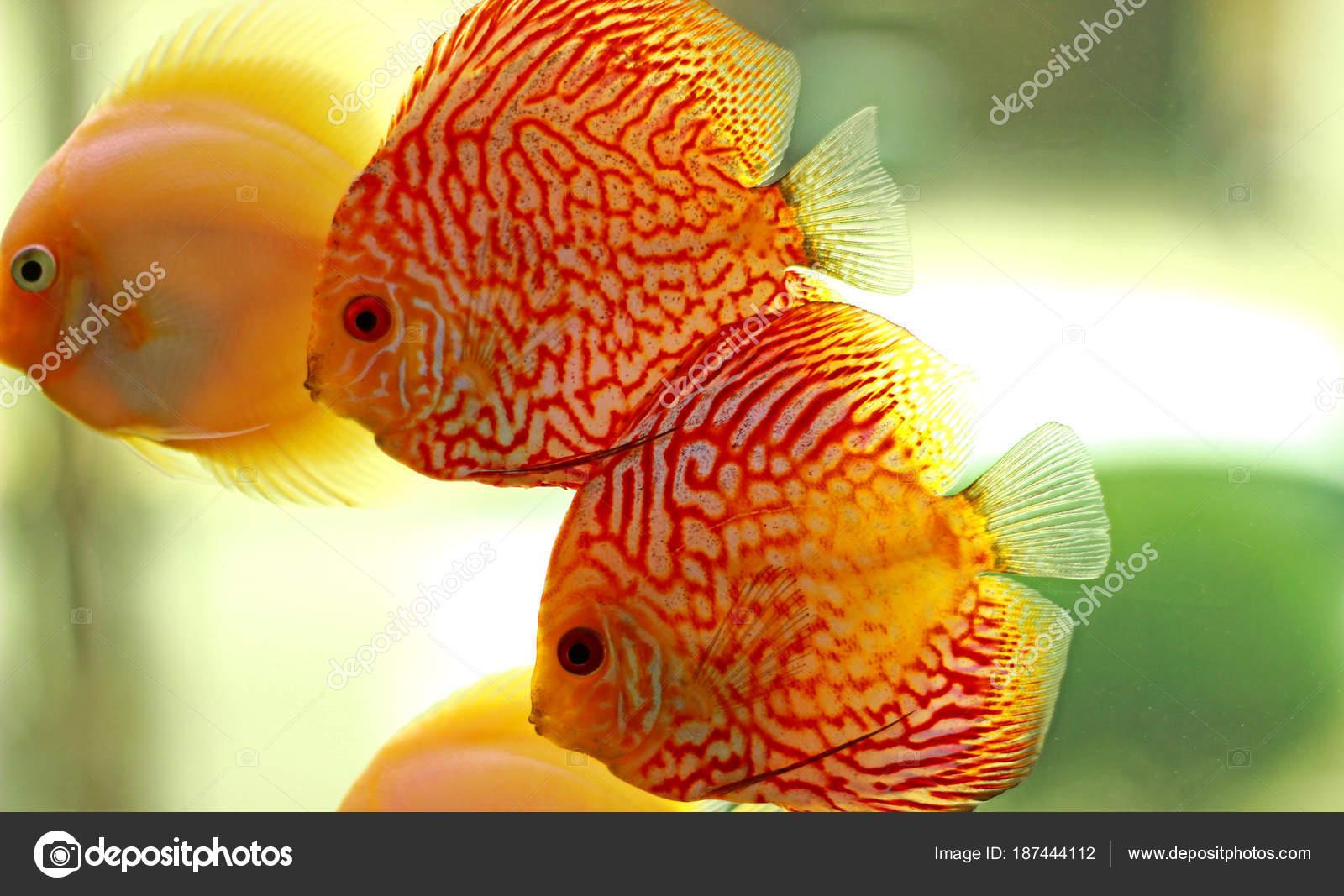 Discus Fish Aquarium — Stock Photo © Vojce #187444112