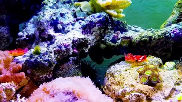 4k Video of Ruby red dragonet fish in aquarium