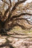 Fotografie old oaks on Oak Alley Plantation, Louisiana, USA