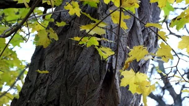 Zažloutlé javorové listy na pozadí kmen akátu šelest ve větru