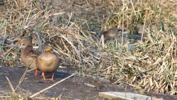Mallard female scrutinizes the situation (Anas platyrhynchos)