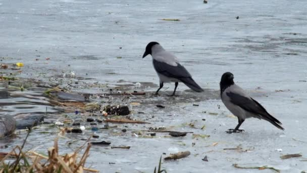 Hooded crow look for food amid rubbish on the ice of a frozen river (Corvus cornix)