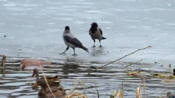 Hooded crow jumping on the ice of a frozen river and want something to steal from ducks (Corvus cornix)