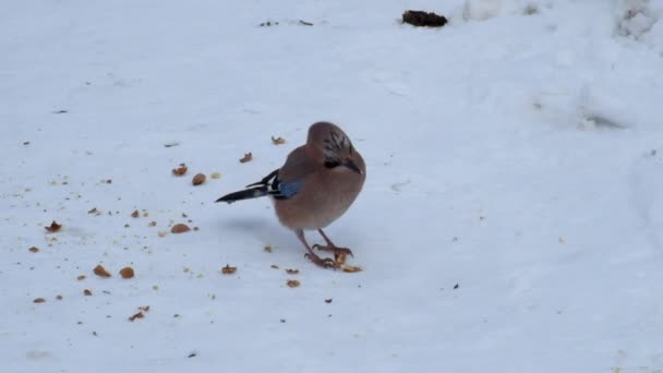 Eurasian jay eats the pulp from the crushed walnut lying on the snow (Garrulus glandarius)