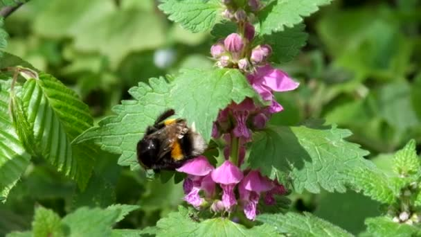 Large bumblebee cleans its paws after collecting pollen on the flowers of dead nettles (Bombus)