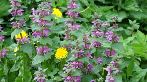 Blossoming red dead nettle swaying in the wind (Lamium purpureum)
