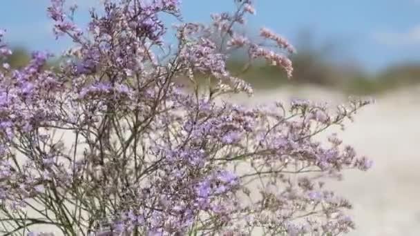 Purple flowers of marsh rosemary (Limonium gmelinii)