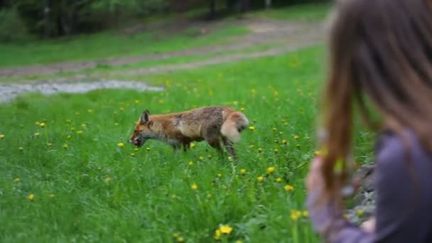 Wild red fox feeded osobou