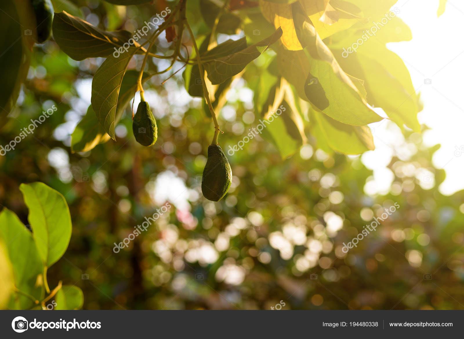 rainurage avocat fruit dans arbre jardin tropical — photographie