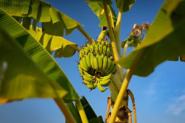 Banana tree with ripe banana bunch grooving in wild. Cambodia, Banlung province.
