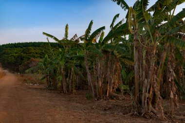 Dried Banana trees grooving in the local farm after harvesting. Cambodia, Banlung province.