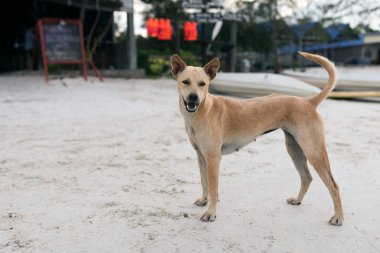 Golden hair dog standing on white sand at the beach of Koh Rong Sanloem, Cambodia