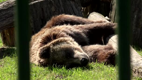 Poor animal brown bear Ursus arctos sleeping in captivity zoo