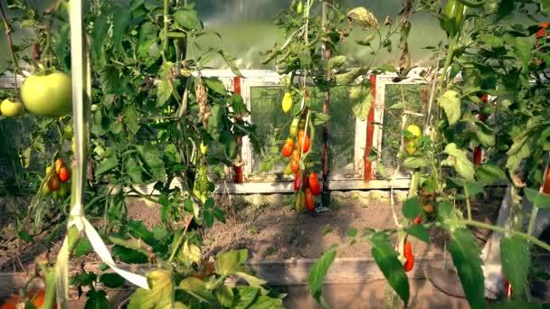 farmář dívka sběru bio rajčata ve skleníku