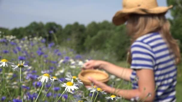 Bylinkář žena vybrat sedmikráskami mezi chrpy v létě pole. 4k