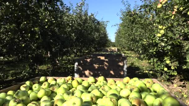 apple tree plantations and wooden box full of fruit in row. 4K