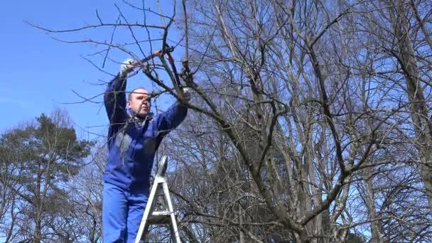 Muž, stříhání větví s zahradnické nůžky v jarním období. 4k