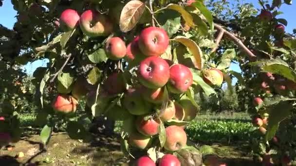 juicy fresh apple fruit hang on branch. Autumn apple harvest. 4K