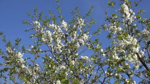 Obst-Baum-Zweig mit weißen Blüten im Frühjahr. 4k — Stockvideo ...