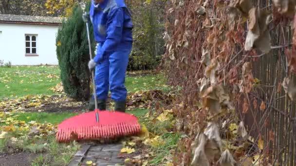 muž zahradník hrábě podzimní listy s velké červené hrábě zahradní. 4k