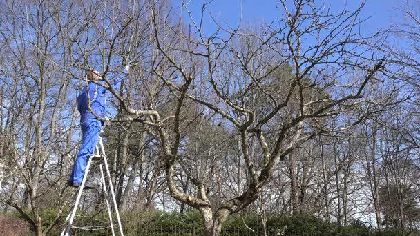 farmář muž stojí na žebříku a řezat větve ovocných stromů