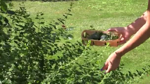 zblízka ženské hand pick zelené máty v letní zahradě. 4k