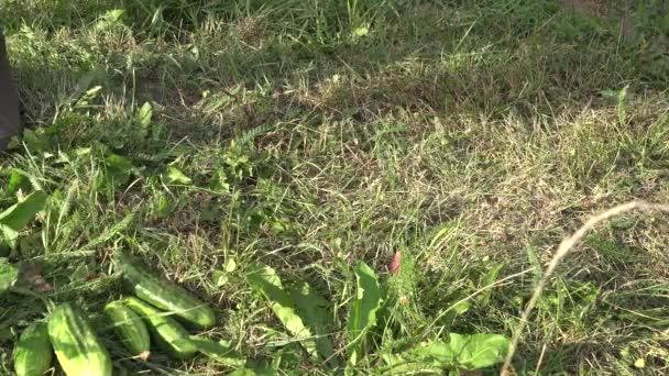 Zahradník pěstitel ruce dejte zeleninu okurky, cukety a dýně na trávě. Closeup. 4k