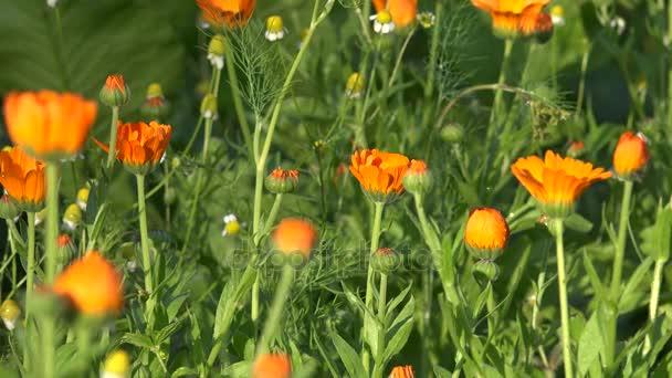 zblízka pěkné bylina marigold v létě stále v zahradě. 4k