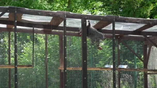 raccoon animal climbing on zoo cage