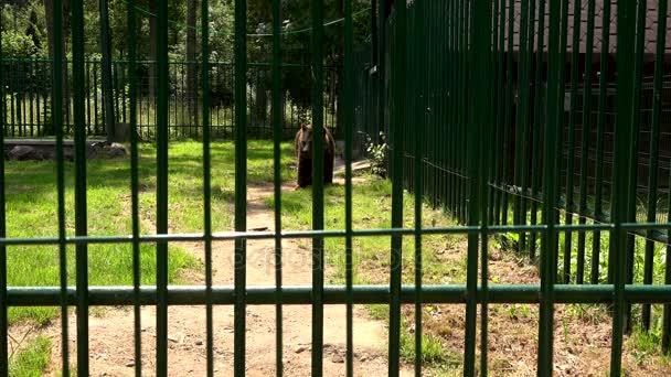 Chudák zvíře medvěd hnědý Ursus arctos procházka v zoo klec v horkém letním dni