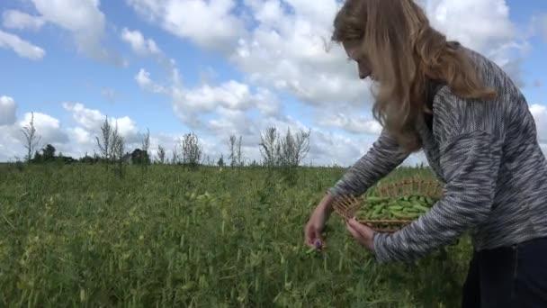 junge Frau sammeln grüne Reifen Erbse in Wicker Plattenfeld. 4k