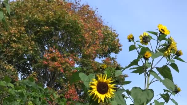 Decorative sunflower flower blooms and colorful maple tree leaves. 4K