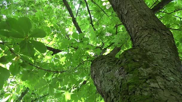 kmen stromu kaštanu a slunečního záření proniknout přes listy. 4k