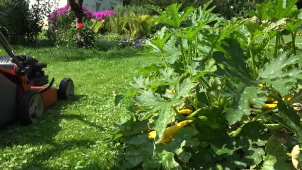 Kertész ember vágott wow rét gyep fű közelében cukkini növények. 4k