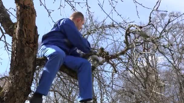 muž pracovník řez švestek starý apple větev stromu v jarní zahradě. 4k