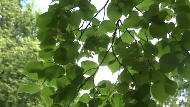 Lipové květy stromu nahoru v náklonu vítr. 4k