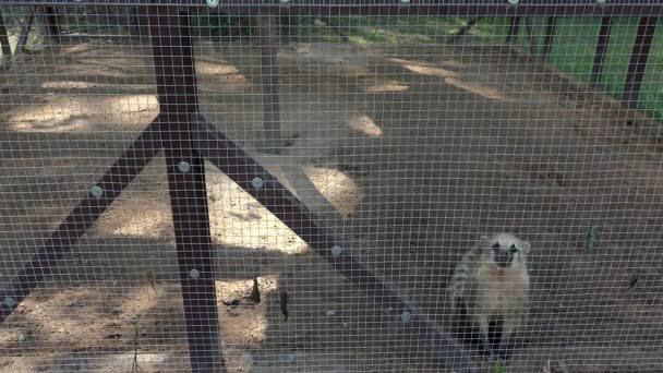 cute coati nasua animal in zoological garden and plate on the cage
