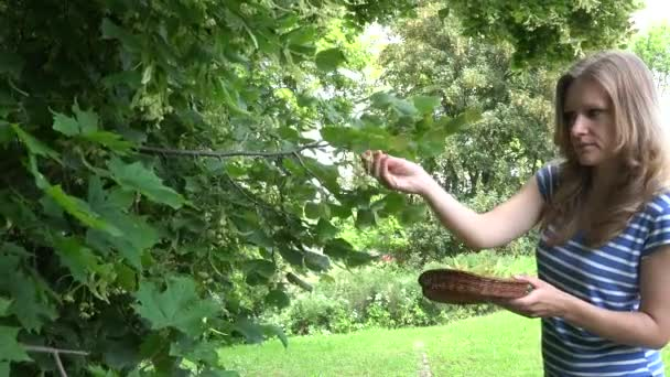 careful girl hands pick linden herbs to wicker dish. 4K