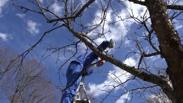 muž prořezávat jablko větev stromu na žebříku v jarní čas zahrada. 4k