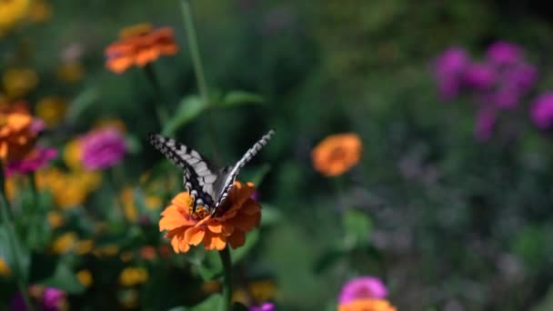 Swallowtail Butterfly collecting nectar pollen on colorful zinnia flower bloom