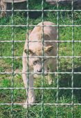Fotografie Löwin hinter Gittern im Zoo. Tiere in Gefangenschaft