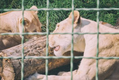 lioness behind bars at the zoo. Animals in captivity
